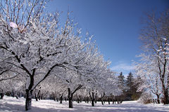 Winter Wonderland. The first snowfall of the season turns this orchard into a winter wonderland Stock Photography