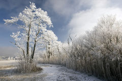 Winter Wonderland. Frozen tree and reed on meadow with blue sky in background Stock Images