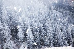winter wonderland - Christmas background with snowy fir trees in royalty free stock photo