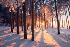 Winter wonderland. Winter forest. Colorful sunrise in forest. Winter nature. Christmas landscape royalty free stock photography