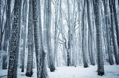 Winter wonderland in forest with frost on trees Stock Photography