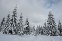 Winter wonderland forest. Winter wonderland, spruce tree forest covered with fresh snow royalty free stock photography