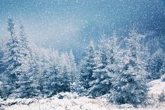 winter wonderland - Christmas background with snowy fir trees in stock image