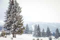 Winter Wonderland landscape, snowy fir tree background. Winter Wonderland snow on trees landscape royalty free stock images