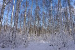 Winter wonderland with snow covered branches. On deciduous trees and a colorful dawn with soft pink clouds in a blue sky colored by the rising sun royalty free stock photography