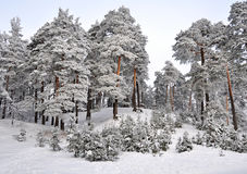 Winter wonderland in snow covered forest Stock Photos