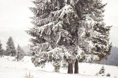 Winter Wonderland landscape, snowy fir tree background. Winter Wonderland snow on trees landscape stock image