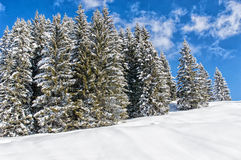 Winter wonderland. Spruce Tree Forest covered by snow in the warm light of the setting sun stock photo