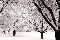 Winter Wonderland V. Black and white trees covered with fresh snow royalty free stock images