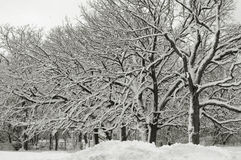 Winter Wonderland VI. Black and white trees covered with fresh snow royalty free stock images