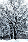Winter Wonderland VI. Black and white trees covered with fresh snow Stock Image