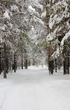 Winter wonderland in wood. Lovely day in snowy forest. Winter wonderland in snowy wood royalty free stock images