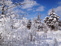 Winter wonderland in woods after heavy fresh snowfall. Dreamy winter wonderland scene of snow covered pines and trees in forest after new fallen snow Stock Image