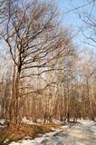 Winter wood. Winter landscape. Snow wood. Biig oak. There will come spring soon stock images