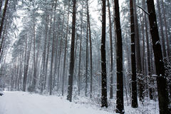 Winter wood. Trees in a winter wood, with which the white snow falls on ground Royalty Free Stock Photo