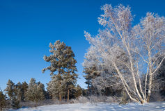 Winter wood. In a winter wood in solar frosty day Royalty Free Stock Photography