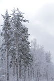 Winter in wood. Cold winter in white wood Stock Photography