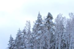 Winter in wood. Cold winter in white wood Royalty Free Stock Photos
