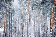 The Winter Wood. The wood covered with snow Royalty Free Stock Image