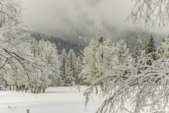 Winter wood landscape. White forest with snow Stock Images