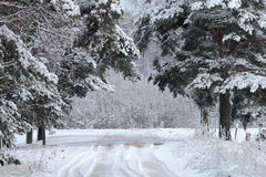Winter wood road. In snow Stock Photography