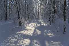 Winter wood in solar weather Royalty Free Stock Photography