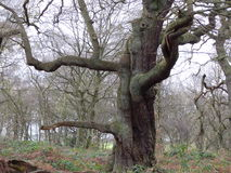 Winter Woodland. Large oak tree set in a winter woodland scene Stock Image