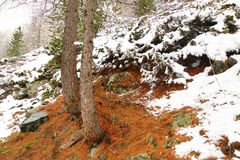 Snowbound hillside with old needles of coniferous trees stock photos