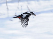Winter Woodpecker Flight with a Seed Royalty Free Stock Images