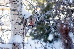 The woodpecker sits on the birch and knocks his beak. Winter. The woodpecker sits on the birch and knocks his beak Royalty Free Stock Photo