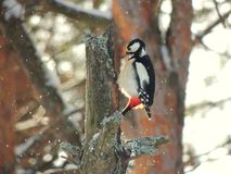 Winter. woodpecker Royalty Free Stock Images