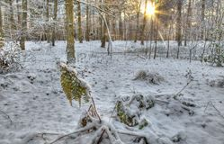 Winter woods Royalty Free Stock Image