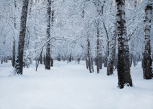 Winter woods Stock Photography
