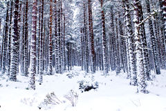 Winter woods Stock Image