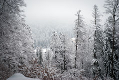 Winter in the woods. Fierce winter in the woods Stock Photos