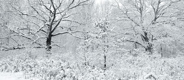 Winter in the woods,panoramic. Royalty Free Stock Photo