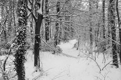 Winter in the Woods. A pathway cuts through snow covered trees Royalty Free Stock Images