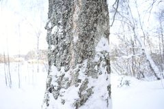 Winter in the woods. Pine tree covered with moss and snow. Snow wrapped up the old pine tree Stock Images