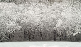 Winter woods scene. Snow covered trees in winter Stock Photography