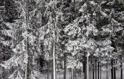 Winter in the woods. Snow covered spruce after snowfall stock photos