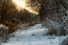 Winter. In the woods during sunset Royalty Free Stock Photography