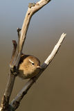 Winter Wren. On a twig Stock Photography