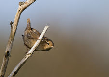 Winter Wren Royalty Free Stock Image