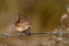 Winter Wren. On barbed wire Royalty Free Stock Photos