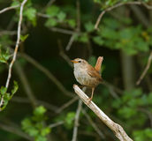 Winter Wren Stock Images