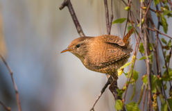 Winter wren on a branch royalty free stock images