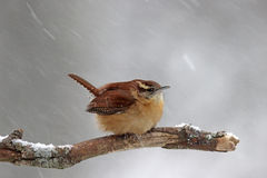 Winter Wren. A Carolina Wren (Thryothorus ludovicianus) perching on a branch in a winter snowstorm Royalty Free Stock Photo