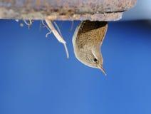 Winter wren in nest. Stock Photography