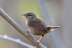 Winter wren outdoor ( Troglodytes troglodytes ) Stock Photos