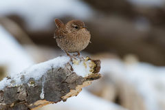 Winter Wren Stock Photography